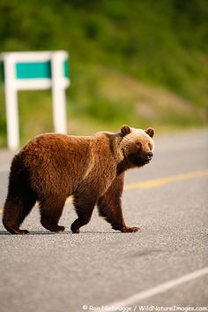 Grizzly Bear along the Haines Highway at the border between British Columbia and the Yukon Territory Canada.