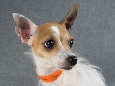Adopt Jewel, a lovely 4 years  1 month Dog available for adoption at Petango.com.  Jewel is a Chihuahua, Short Coat / Terrier and is available at the National Mill Dog Rescue in Colorado Springs, Co. www.milldogrescue... #adoptdontshop #puppymilldog #rescue #adoptyourfriendtoday