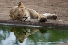 lion-sleeping-by-water