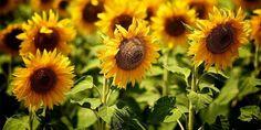 Como cuidar de girassol. Está sempre em busca do sol. Tem um formato exótico e o seu tom amarelo intenso dá vida ao ambiente onde vive. Estamos falando do girassol. Esta planta tem um porte herbáceo e pode atingir até cerca d...