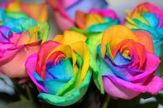 Rainbow roses! Easy to make - just split the stem of a white rose in four and put each part in a small amount of red, green, blue and yellow dye! The colours seep up the stem and create this beautiful rainbow rose!