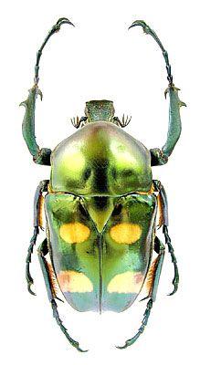 Jumnos ruckeri Saunders, 1839 (Scarabaeidae) Thailand, Chiang Dao