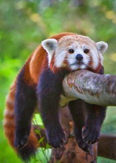 Lazy red panda cub