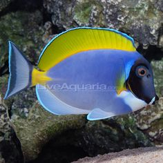 This is a powder blue tang.  They come from the Maldives.  I have one of these.