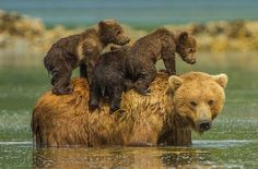 Grizzly ferrying her three cubs across the river, Katmai National Park, photos by Jon Langeland: