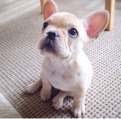 """You DO realize this is my TREAT face, right?"", French Bulldog Puppy"