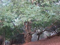 El Almez de Lugar Nuevo, junto a Villarreal de San Carlos, un hojaranzo considerado árbol singular por sus dimensiones. Una maravilla natural.