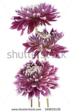 Studio Shot of Burgundy Colored Dahlia Flowers Isolated on White Background. Large Depth of Field (DOF). Macro. Symbol of Elegance, Dignity and Good Taste.