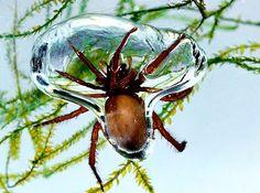 Cheliceriformes - Classe Arachnida: Aranha de água doce (Argyroneta aquatica): Conhecida pelo nome comum de aranha-de-água é encontrada em lagos na região Paleártica e é a única aranha que vive permanentemente debaixo de água.