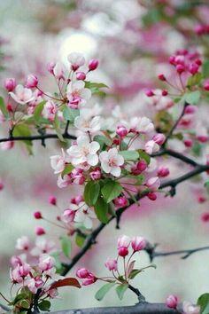 Яблуневый цветние!