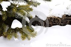The branch of spruce in the snow, wooden fence under snow, tree twigs, fence, forest, winter, nature