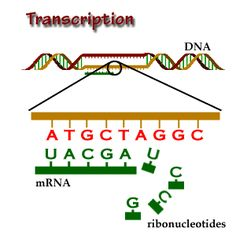 Transcription: the first step of gene expression, in which a particular segment of DNA is copied into RNA by the enzyme RNA polymerase.