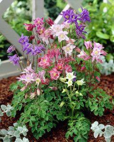 9 cm x 9 cm Aquilegia All Flowers, Pretty Flowers, Pink Perennials, Square Foot Gardening, Garden Gates, Gardening For Beginners, Outdoor Projects, Shade Garden, Sun