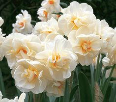 """Narcissus Sir Winston Churchill.... Height: 15""""+..  Fragrance: Yes..  Deer Resistant: Yes..  Exposure: Full or Part Sun..  Blooms In: April-May..  Spacing: 5-6"""""""
