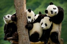 Giant-panda-cubs-at-the-Wolong-National-Nature-Reserve-in-Sichuan-Province-China (12 pieces)