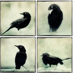Raven Print Set, Halloween Art, Raven Crow Art, Black and White... (360 SEK) ❤ liked on Polyvore featuring home, home decor, wall art, bird wall art, photo wall art, black and white wall art, black white home decor and black and white home accessories
