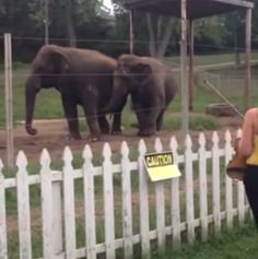 Watch How These Elephants Respond To Classical Music On A Violin. #Animals #Elephants #Music