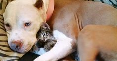 21 Reasons Pit Bulls Are The Best Cuddlers In The World