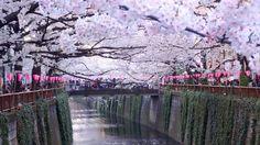 Tokyo's Best Cherry Blossom Spot: Meguro River 初めての目黒川花見