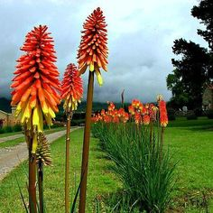 Torch Lily is a startling flash of color in the southwest desert. Upright plants…