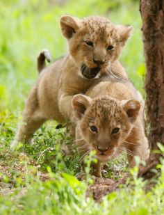 Lions by Miriam Haas on 500px