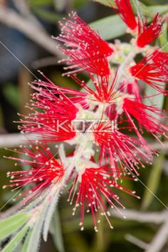Bright Red Needle Flowers - Flowers where numerous needle-like petals grow from, all bright red in color with light yellow dew drop tips.