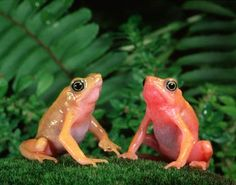 Mike Bacon Photography: Harlequin Toads