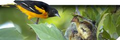 Landscaping for Nesting Birds http://nestwatch.org/learn/general-bird-nest-info/landscaping-for-nesting-birds/