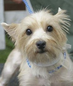 Cairn Terrier Club of Southern California