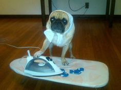 Funny pug pictures online showing pugs doing the housework including the ironing. This pug has even dressed up in dog clothing to do the ironing for their owner Funny Pug Pictures, Dog Pictures, Cute Pictures, Hilarious Photos, Amazing Pictures, Amor Pug, Funny Animal Videos, Funny Animals, Cute Animals