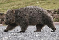 wombat on patrol Black Bear, Brown Bear, Cute Wombat, Happy Animals, Animals Of The World, Animals Beautiful, Dog Cat, Creatures, Hilarious Animals