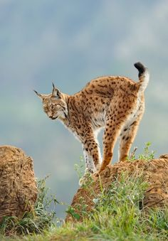 Iberian Lynx at a Wildlife Photography Bootcamp in Spain where animals live in semi-wild conditions in stunning scenery. Getting a good shot of a lynx in the wild is close to impossible (they're endangered). Iberian Lynx, Eurasian Lynx, Lynx Lynx, Lynx Kitten, Small Wild Cats, Big Cats, Cats And Kittens, Serval, Caracal Cat