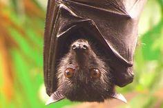 A Vigilância Ambiental em Saúde, em parceria com o Departamento de Zoonoses da Faculdade de Medicina Veterinária e Zootecnia, confirmou nesta quarta-feira (17) o segundo caso positivo de raiva em morcego deste ano. Trata-se de um morcego insetívoro, ou seja, que se alimenta de insetos, encontrado na Chácara dos Pinheiros, região Norte de Botucatu.