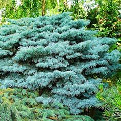 Blue Spruce, 'Picea pungens f. Trees And Shrubs, Trees To Plant, Garden Trees, Garden Plants, Drought Tolerant Trees, Evergreen Bush, Evergreen Garden, Stachys Byzantina, Gardens