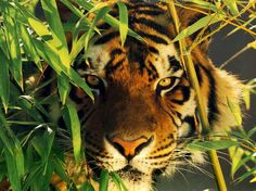 Tiger in the jungle All About Animals, Animals And Pets, Funny Animals, Cute Animals, Wild Animals, Fierce Animals, Large Animals, Beautiful Cats, Animals Beautiful