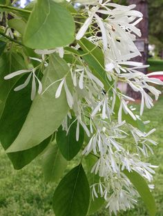 Chinese Fringe Tree.  One of my most favorite trees, I love the perfume when in bloom.