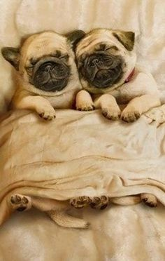 A long nap for two!  #dogs #pets #Pugs Facebook.com/sodoggonefunny