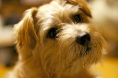 Norfolk Terrier... my fave