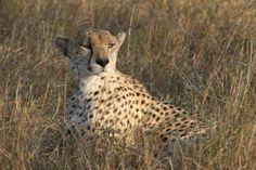 Male Cheetah, Masai Mara by Richard Ainsworth