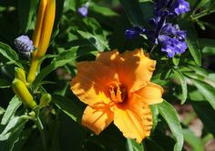 Daylily 'Bernie Ferris' - Daylily Pictures - Photo Gallery - Cafe Garden