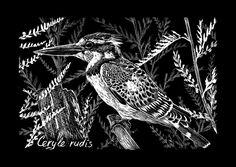 Pied Kingfisher by Nachiii.deviantart.com on @DeviantArt