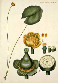 Nuphar lutea. Oeder, G.C., Flora Danica, 1761-1883.