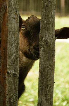 sweetlysurreal:    Neugierige Ziege - curious goat by Manuela Salzinger on Flickr.