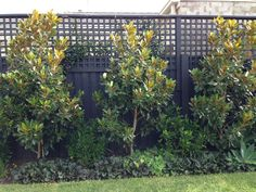 small feature magnolia - fence in background