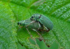 Parende Snuitkevers  (Van vroegevogels)