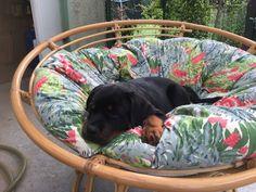 sure looks comfortable!! #rottweiler