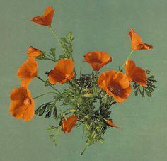 clawmarks: California poppies - c. 1899 - via LOC