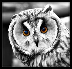Owl Who, Beautiful Owl, Rabe, Birds Of Prey, Cute Animals, Wildlife, Wings, Owls, Feathers