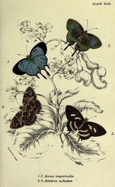 gravures papillons - Gravures de papillons - 2097 Arcas imperialis - Gravures, illustrations, dessins, images