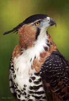 The ornate hawk-eagle (Spizaetus ornatus) is a bird of prey from the tropical Americas. This species of eagle is notable for its vivid colors, which differ markedly between adult and immature birds. (Mary Therit on Flickr)